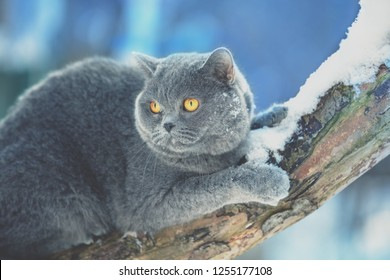 Blue British cat sitting on the snowy tree in winter