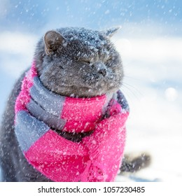 Blue British cat, wearing knited scarf, sitting outdoors in snow in winter