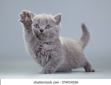 blue British kitten on a gray background