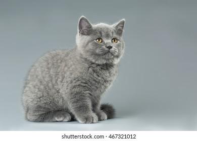 blue British kitten on grey background