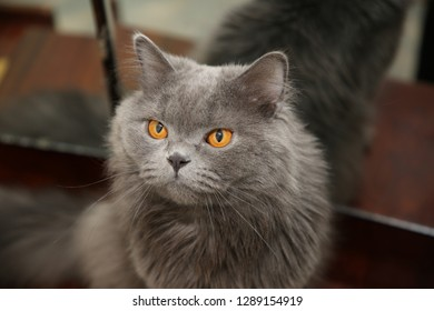 Blue British long-hair male cat's head