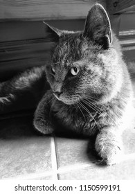 Blue British Shorthair cat in black and white relaxing under a table a bright summer day.