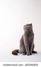 Blue British Shorthair cat on white background