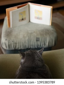 Blue british shorthair tomcat looking into a book