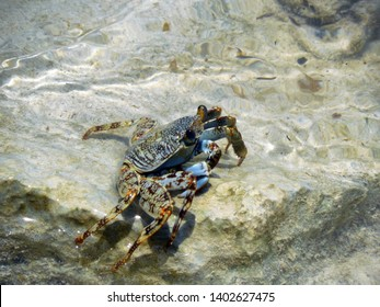 Blue, Brown and Gold colored wild crab in shallow water at a beach in Montego Bay, Jamaica.