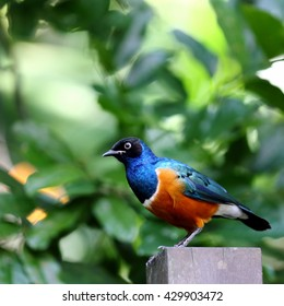 Blue and Brown Superb Starling Bird in Garden