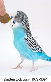 Blue budgerigar and ten rubles