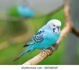 blue budgie parrot pet bird also known as Budgerigar Melopsittacus
