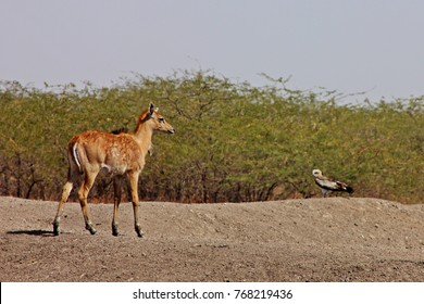Blue bull fawn with raptor on sand mound