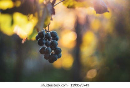 Blue bunch of grapes in the vineyard at autumn season.