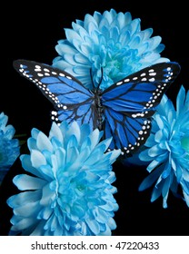 Blue butterfly and carnations on black background