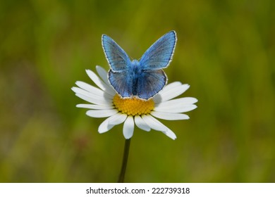 Blue Butterfly with daisy