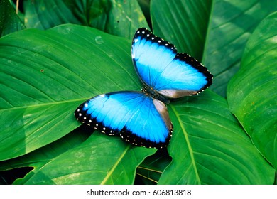Blue butterfly , isolated