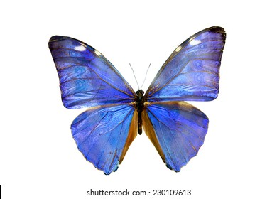 blue  butterfly isolated, set of realistic amazing tropical butterflies and alive  bug , zoology,wild ,entomology, beautiful wing collection ,insect animal stuff icon