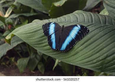 Blue butterfly (Morpho helenor Surinam) over leaf