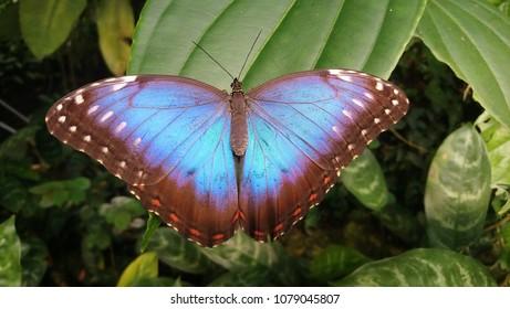 Blue butterfly (Blue Morpho) on green leaf.
