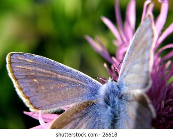 Blue butterfly on a pink flower