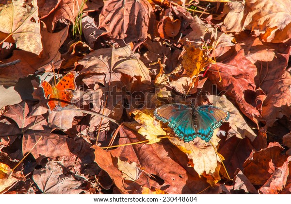 Blue butterfly on red autumn leaves.