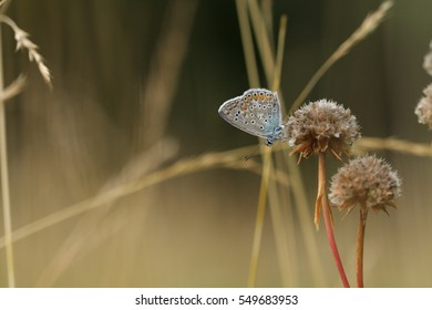Blue butterfly (Polyommatus)  on flower
