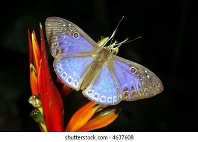 Blue butterfly in the rainforest understory