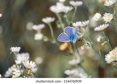 Blue butterfly sits on a daisy fleabane. The common blue butterfly (Polyommatus icarus)