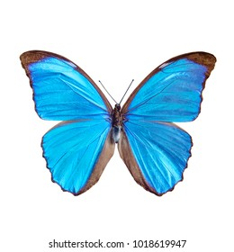 Blue butterfly tropical Morpho menelaus, Brasil, isolated on white background