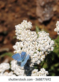 Blue butterfly, white flowers