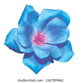 Blue camellia macro flower on isolated background. Camellia blue flower on a white background.