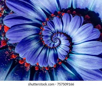 Blue camomile daisy flower spiral abstract fractal effect pattern background. Blue violet navy flower spiral abstract pattern fractal. Incredible flowers pattern round circle spirally background