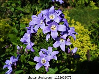 Blue Campanula (bellflower) in a garden