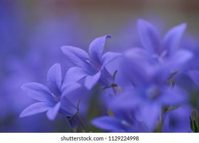 Blue Campanula Bellflowers