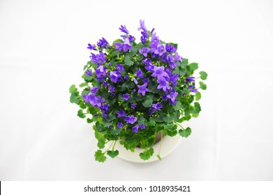 Blue campanula flower on white background.