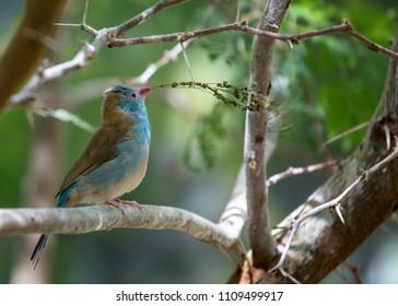 Blue Capped Cordon Blue (Uraeginthus cyanocephalus) spotted outdoors