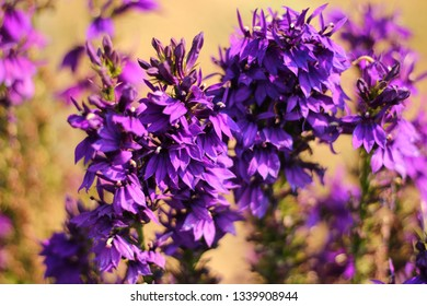 Blue Cardinal Flower Images Stock Photos Vectors Shutterstock