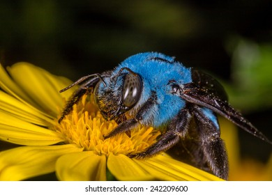 Blue Carpenter Bee on a Yellow Flower