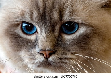 Blue Cat eyes looking at you close up detail