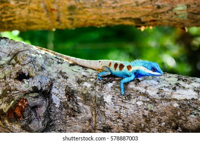 Blue Chameleon in Thailand.