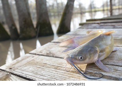 Blue Channel Catfish Caught in a Louisiana Bayou