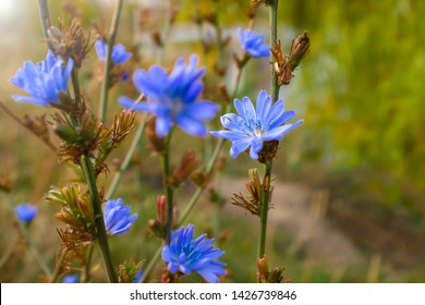 Blue chicory flower close-up. Chicory ordinary, weed plant. Meadow with chicory flowers. Chicory cultivated for herbal coffee drink - natural inulin
