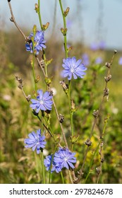 Blue chicory flowers (Cichorium intybus) in a field closeup