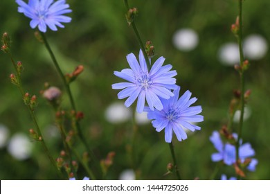Blue Chicory Flowers, chicory wild flowers on the field. Blue flower on natural background. Flower of wild chicory endive . Cichorium intybus .
