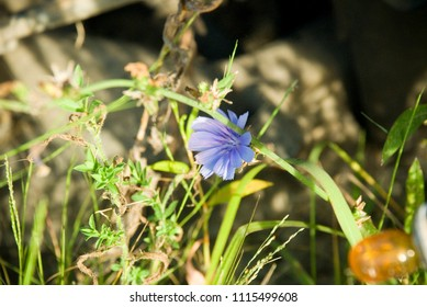 Blue Chicory in grass