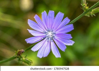 Blue chicory plant flower. Chicory flower blue. Cichorium intybus