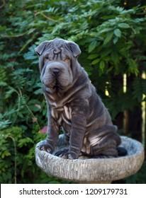 Blue Chinese Shar-pei puppy in birdbath