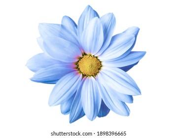 blaue Chrysanthemumblume, Nahaufnahme auf weißem Hintergrund