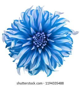 Blue chrysanthemum flower heads isolated on white background.