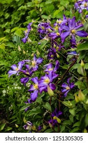 Blue Clematis flowers grow in the garden, close-up