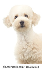 Blue Coat Toy Poodle with Curious Look
