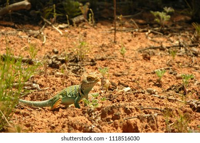Blue Collared Lizard in the Desert of Southeastern Utah, U.S.A.
