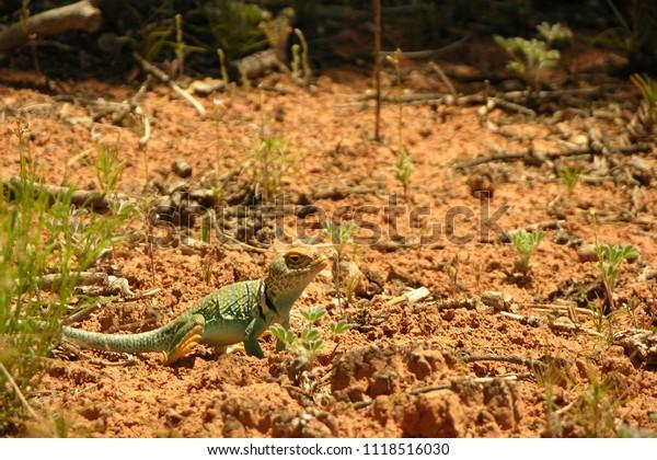 Blue Collared Lizard in the Desert of Southeastern Utah, U.S.A.